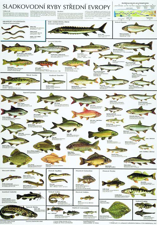 Sladkovodní ryby střední Evropy